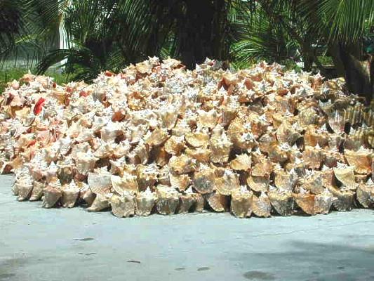 Shell Horizons Inc Seashells And Seashell Products