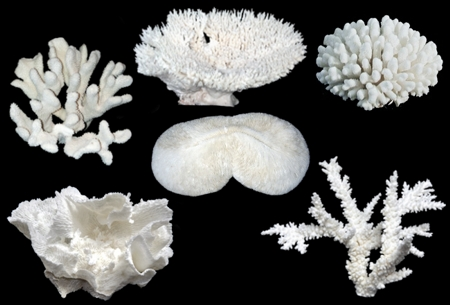 6 PC White Coral Assortment - Click For Larger View