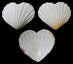 Heart Shaped Scallop Shells - Click For Larger View