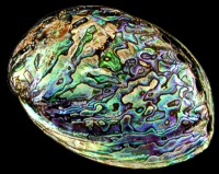 Paua Abalone Polished - Click For Larger View