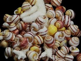 Stripe Land Snails - Click For Larger View